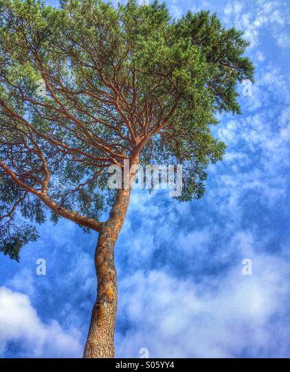 Fir tree against a summer sky - Stock Image
