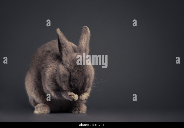 Bunny cleaning its face in studio. - Stock Image