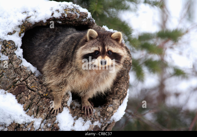 Raccoon (Procyon lotor), snow, den, Montana, USA - Stock Image