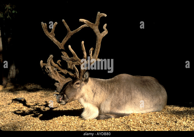 Alaska reindeer with velvet rack - Stock Image
