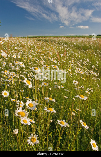 Field edges left to wildflower rather than crops can vary year on year, this strip is taken over by Ox Eye daisies. - Stock-Bilder