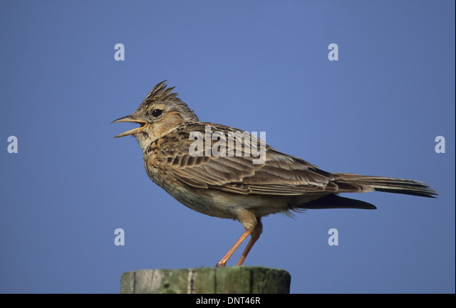 SKYLARK (Alauda arvensis) adult male singing perched on fence post Southport Merseyside UK - Stock Image