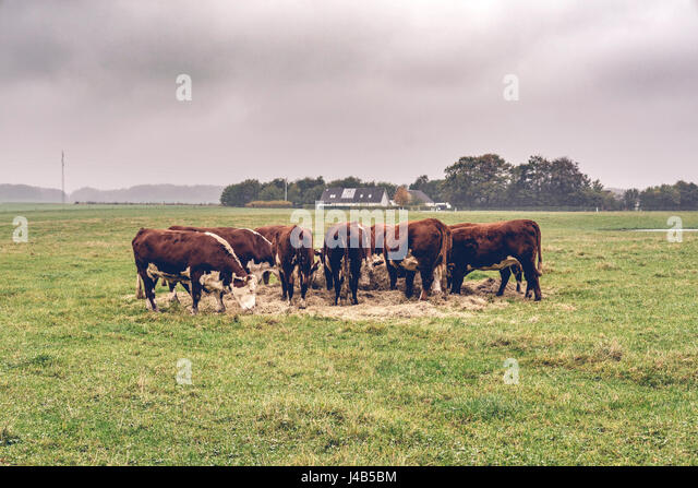 Hereford cows eating hay on a green field in the fall - Stock Image