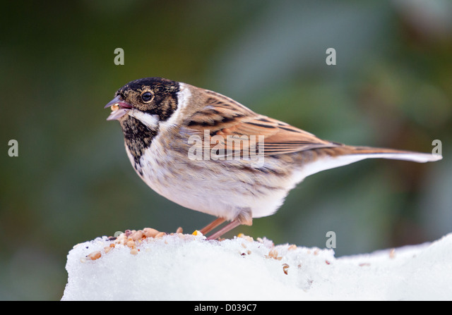 Close-up of a male reed bunting (emberizia schoeniclus) feeding on seeds in a snowy garden - Stock Image