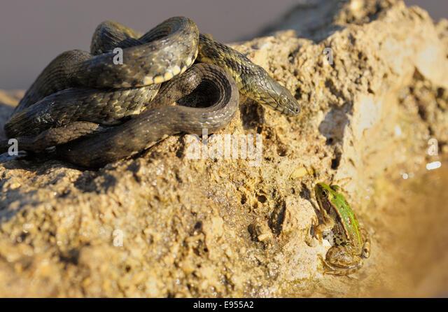 Dice Snake (Natrix tessellata), basking, focussing gaze on frog in water, Bulgaria - Stock Image