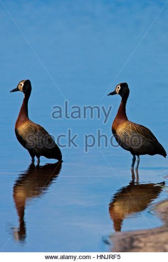 Two white-faced whistling duck, Dendrocygna viduata, at the water's edge. - Stock-Bilder