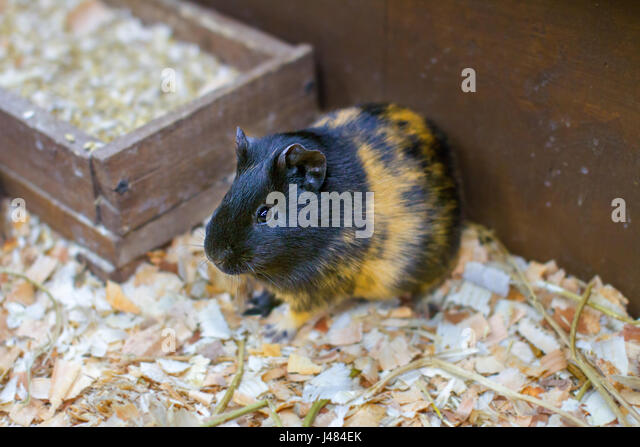 Image small pet guinea pig in a cage - Stock Image