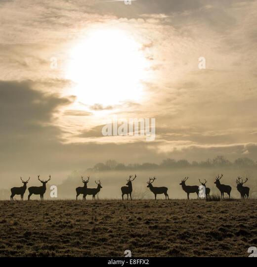 Herd of deer in field - Stock Image
