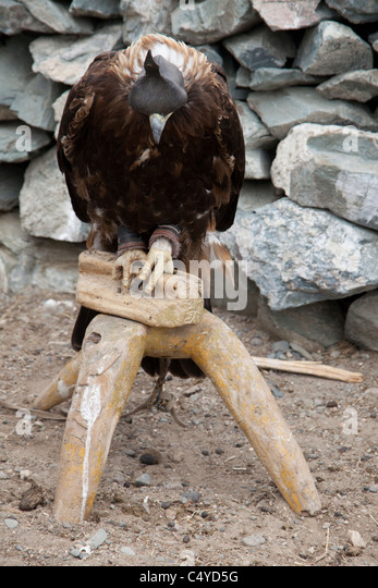 Hooded Golden eagle on the outskirts of Olgii with Kazakh community in Bayan-Olgii Province in Mongolia - Stock Image