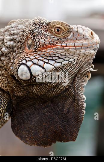 A closeup picture of an iguana.  Commonly known as green iguana, species: Iguana iguana.  Taken in Oranjestad, Aruba. - Stock-Bilder