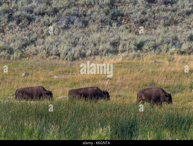 Three Bison Mosey Across Field while grazing - Stock Image