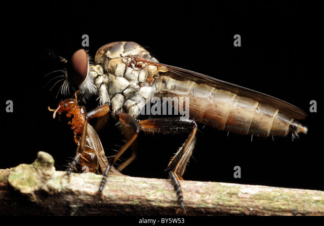 Robber Fly (Ommatius sp) with orange ant - Stock Image
