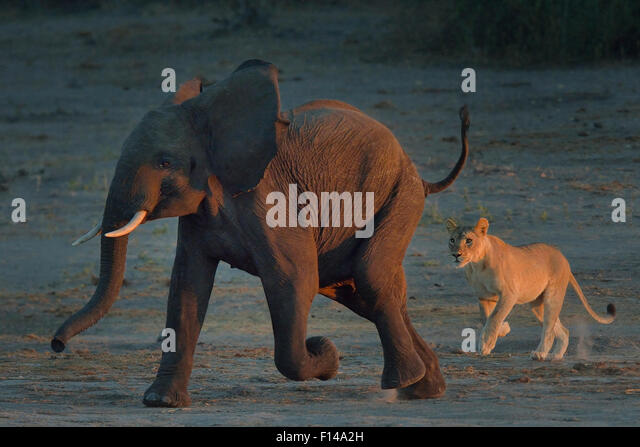 Lioness (Panthera leo) chasing young African elephant (Loxodonta africana) bull, Chobe River, Botswana, May, Vulnerable - Stock-Bilder