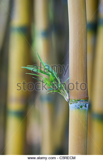 Chusquea culeou . Bamboo shoots . Bamboo leaves sprouting from the cane - Stock Image