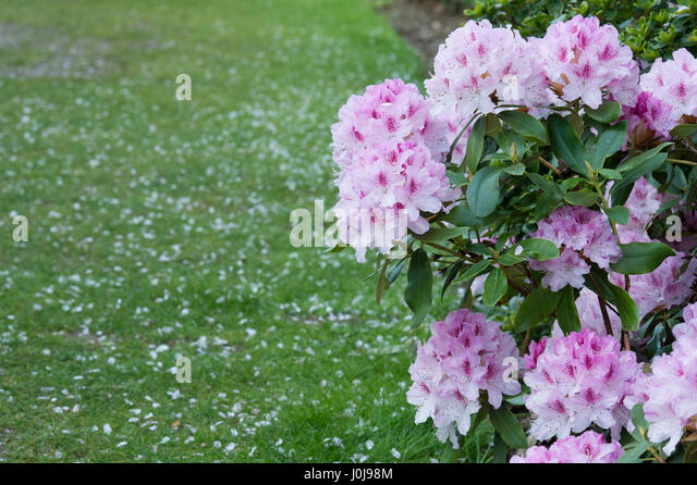 Rhododendron 'Cheer' . Large hybrid rhododendron - Stock Image