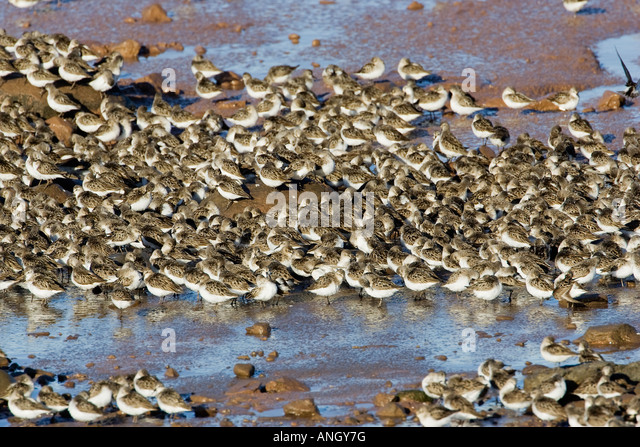 Each August thousands of shorebirds, mostly Semipalmated Sandpipers (Calidris pusilla) gather during the fall migration - Stock Image