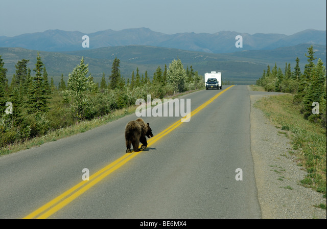 Brown bear (grizzly bear), Ursus arctos horribilis, on the Park Road, Denali National Park - Stock Image