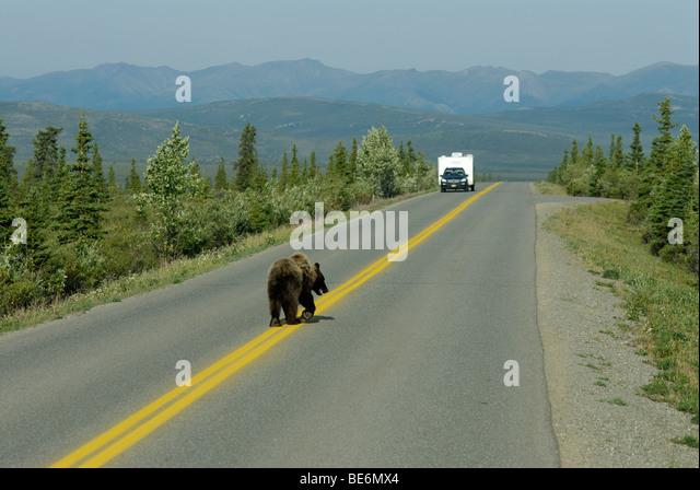 Brown bear (grizzly bear), Ursus arctos horribilis, on the Park Road, Denali National Park - Stock Image
