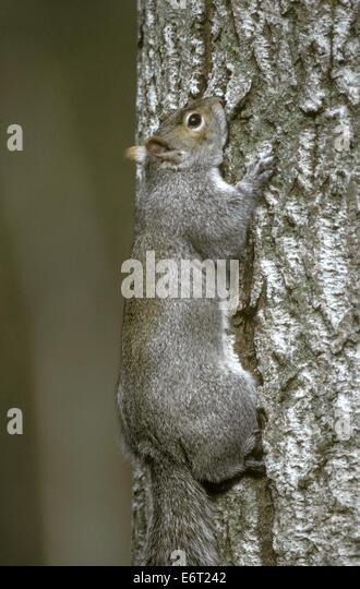 Grey Squirrel - Sciurus carolinensis - Stock Image