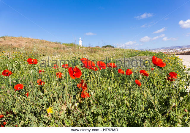 Blooming Poppies (Papaver) in front of Paphos Lighthouse at Paphos Archaeological Park, Paphos, Cyprus - Stock Image