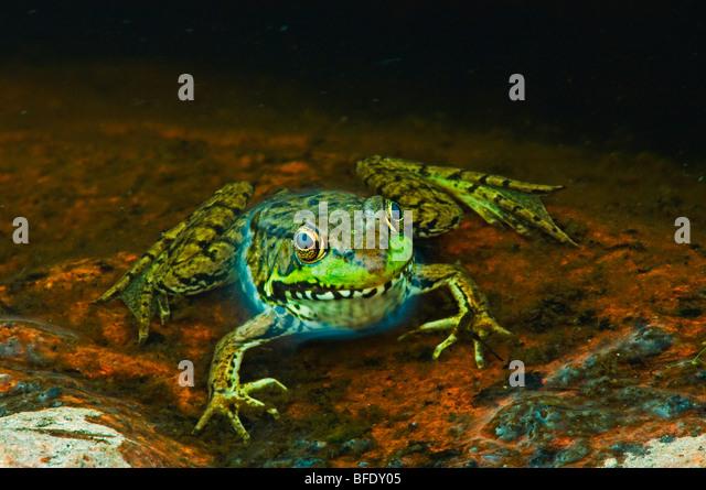 Close-up of green frog (Rana clamitans) at edge of pond, Killarney Provincial Park, Ontario, Canada - Stock Image