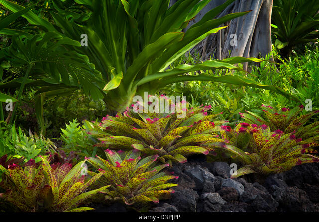 Bromeliads in garden. Hawaii, The Big Island. - Stock Image