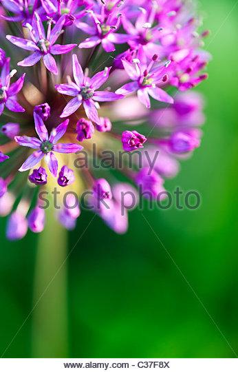 Allium hollandicum Purple Sensation flowers. Selective focus - Stock Image