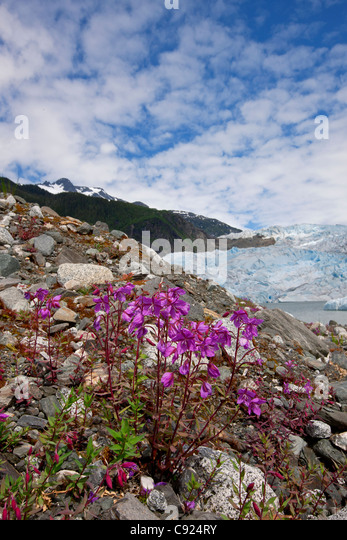 Dwarf Fireweed blooms with Mendenhall Glacier in the background, Tongass National Forest, Juneau, Southeast Alaska, - Stock Image