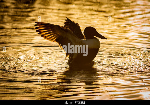A Shoveler duck, stretching its wings, in golden sunlight - Stock Image
