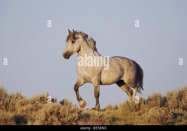 Mustang Horse Equus caballus adult Pryor Mountain Wild Horse Range Montana USA - Stock Image