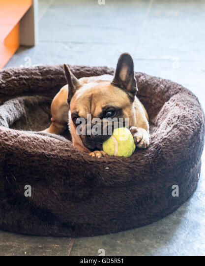French bulldog chewing a tennis ball in his basket - Stock Image