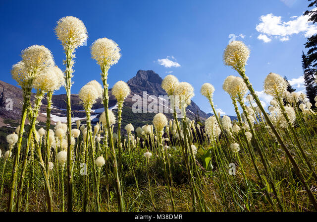 mt00129-00montana-beargrass-xerophyllum-