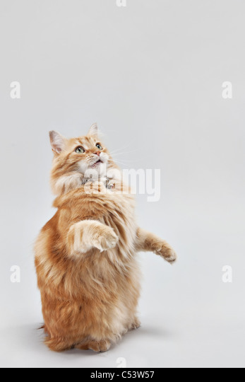 Small orange manx tabby cat begging and sitting on his hind legs. - Stock Image