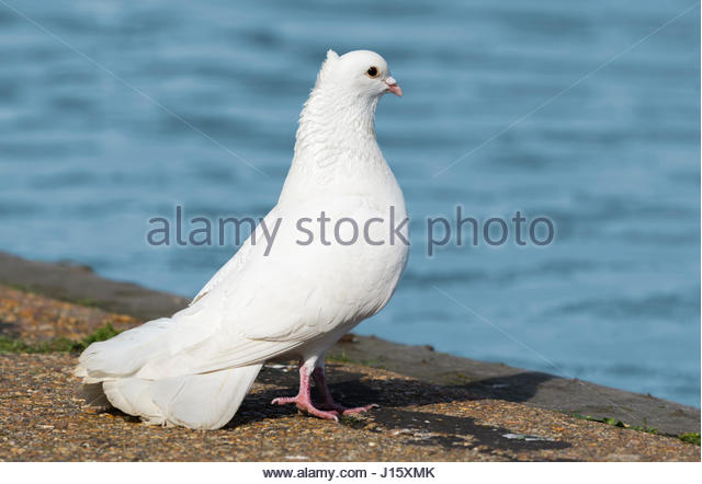 White Domestic Pigeon (Columba livia domestica), looking similar to a White Dove, standing on the ground by water, - Stock Image