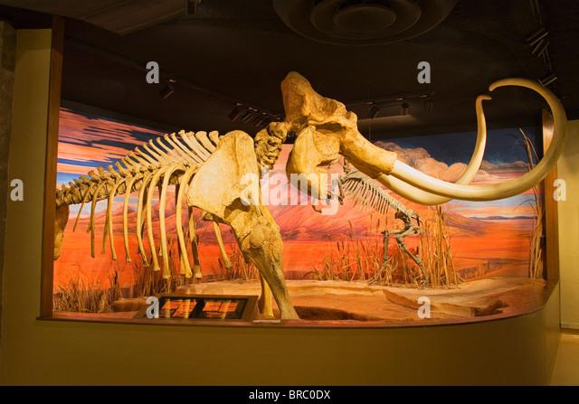 Mammoth skeleton from the Pleistocene Ice Age at the Nevada State Museum, Carson City, Nevada, USA - Stock-Bilder