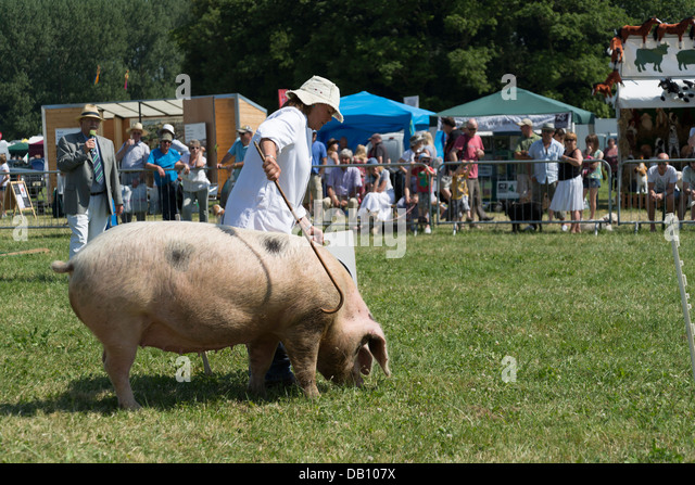 Pig handling at the Cotswold show - Stock Image