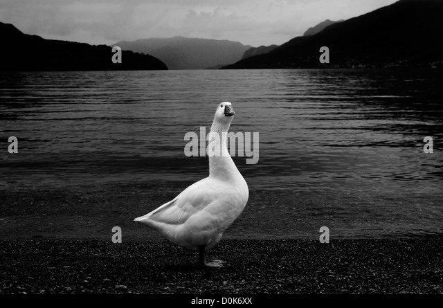 Swan, Como lake - Stock-Bilder