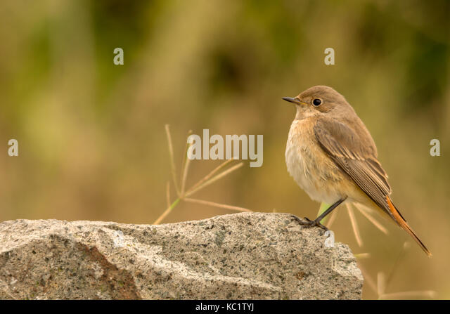 Burgas, Bulgaria. 1st October, 2017.Windy day ruff sea along the Black sea, Swans surf, Female Common Redstart poses - Stock Image