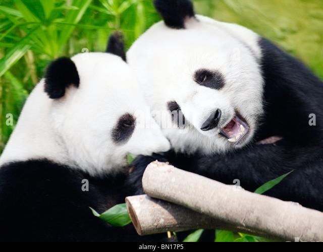 Couple of cute giant pandas eating bamboo shoots - Stock Image