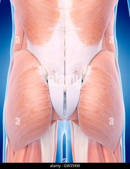 Anatomy of buttocks