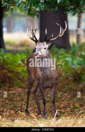 Red Deer in forest in Richmond Park, UK - Stock Image