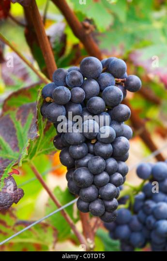 pinot noir clos st louis fixin cote de nuits burgundy france - Stock Image