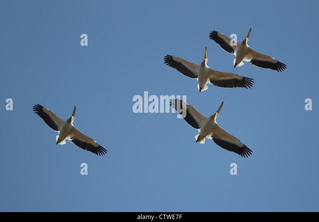 White Pelican (Pelecanus onocrotalus) - Stock Image