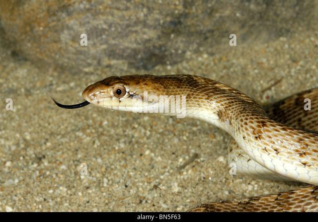 Glossy Snake - Stock Image