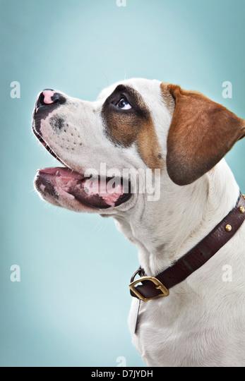 Portrait of St Bernard puppy in studio - Stock Image