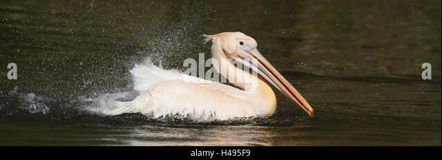 Great white pelican, Pelecanus onocrotalus, - Stock Image
