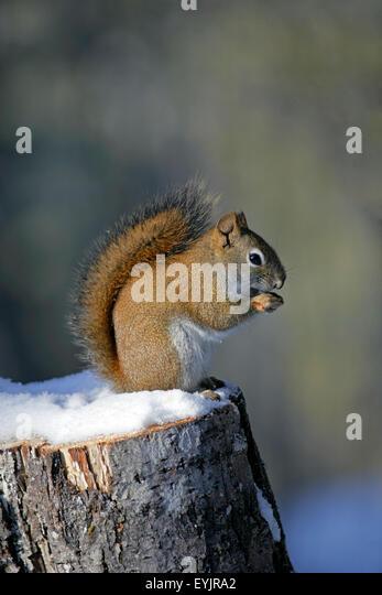 Eichoernchen sitzt auf Baumstrunk im Schnee|Red Squirrel sitting on tree stump in winter,eating seeds - Stock Image