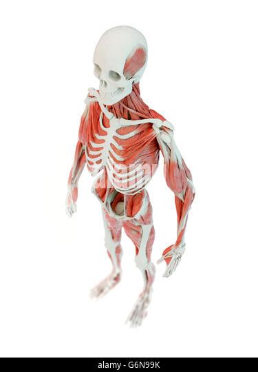 Detailed deep muscle human anatomy illustration - Stock-Bilder