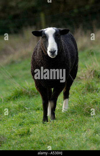 British Zwartble ram with two white socks Devon - Stock Image