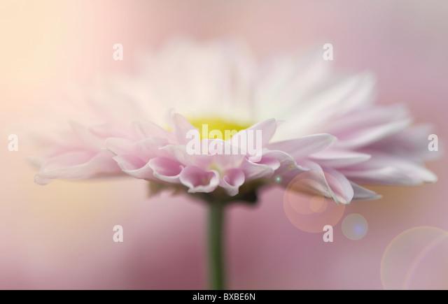 A single daisy flower with creative Len Flare - Sun Flare - Stock Image